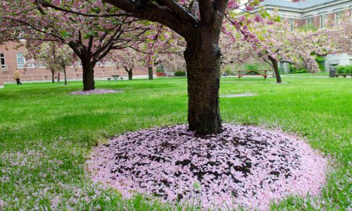 Tree in springtime littered with petals